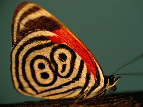 Neglected Eighty-Eight Butterfly, nationalgeographic.com
